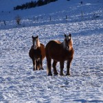 gite du puy mary-cantal-animaux-chevaux-equitation (2)