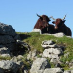 gite du puy mary-cantal-animaux -vaches-salerce (7)
